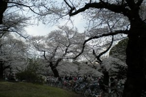 Bikes and cherry blossoms at Koganei Park