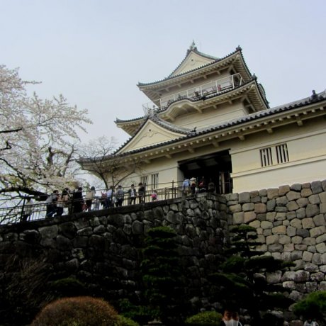 Odawara Castle's Cherry Blossoms