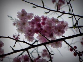 他の見どころは繊細なピンク色の桜だ