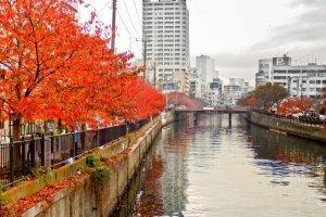ต้นซากุระที่ยืนเรียงรายสองฝั่งแม่น้ำโอโอะคะกะวะ (Ookagawa) แห่งโยโกฮะมะ (Yokohama) เปลี่ยนสีได้งดงามไม่แพ้ดอก