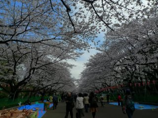A long line of cherry blossom trees. Everyone is looking up or taking pictures