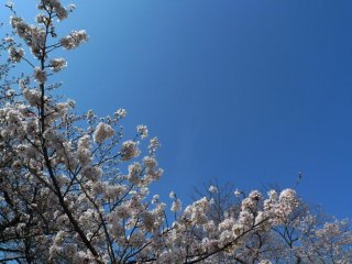 Beautiful cherry blooms behind the beautiful blue sky