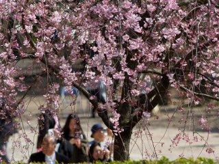 Jalan-jalan makan siang hanami (melihat bunga sakura)