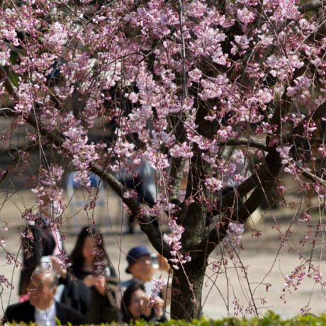 Cherry Blossoms at Zojo-ji