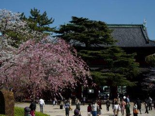 Pohon ceri merah muda adalah daya tarik utama hari itu, ...