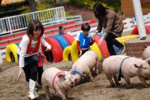 돼지 경주