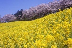 봄철 벚꽃은 도쿄에서보다 더 빨리 핀다