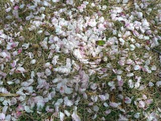 Cherry blossom petals are starting to fall