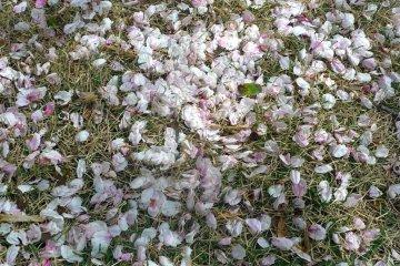 حديقة شينجوكو غيوئن وأزهار الكرز