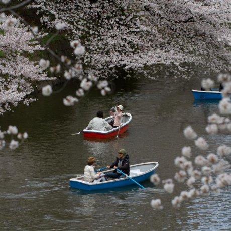 Bunga Sakura di Chidorigafuchi