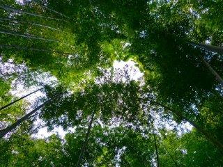 푸르스름한 대나무