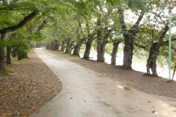 Sakura Grove at Hirosaki Park in autumn