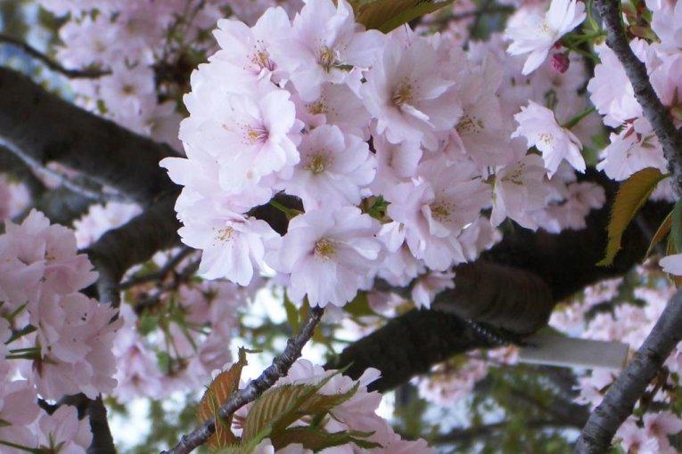 Sakura di Osaka Mint