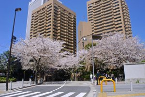 Bylanes decked with cherry trees on both sides