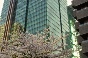 Izumi Garden sakura bloom