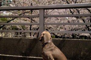 A pet dog enjoying the blossoms