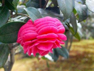 Kesempurnaan Camellia