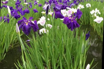 The irises in May