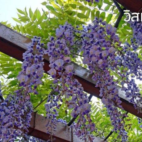 ฤดูดอกไม้ในประเทศญี่ปุ่น