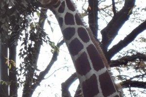 A giraffe munching on some leaves.