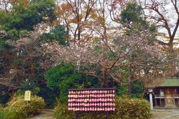 Цветение сакуры ранней зимой с последними осенними красками