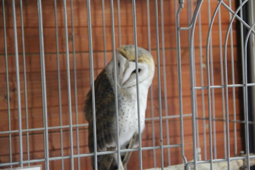 The men fukuro is a distinguished owl on display at the Mini Mini Zoo and Zukeran Egg Outlet in Uruma City Okinawa.
