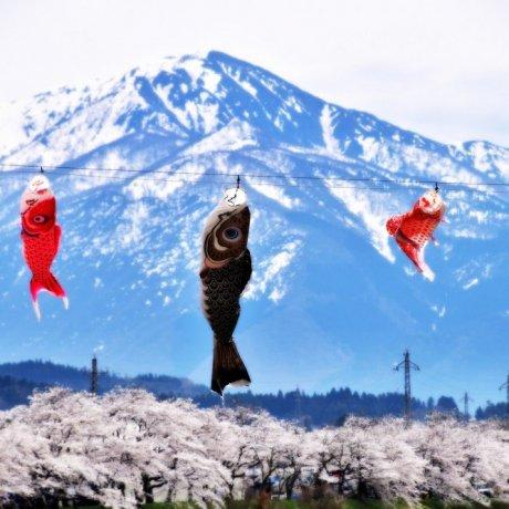 เทศกาล Benten Sakura