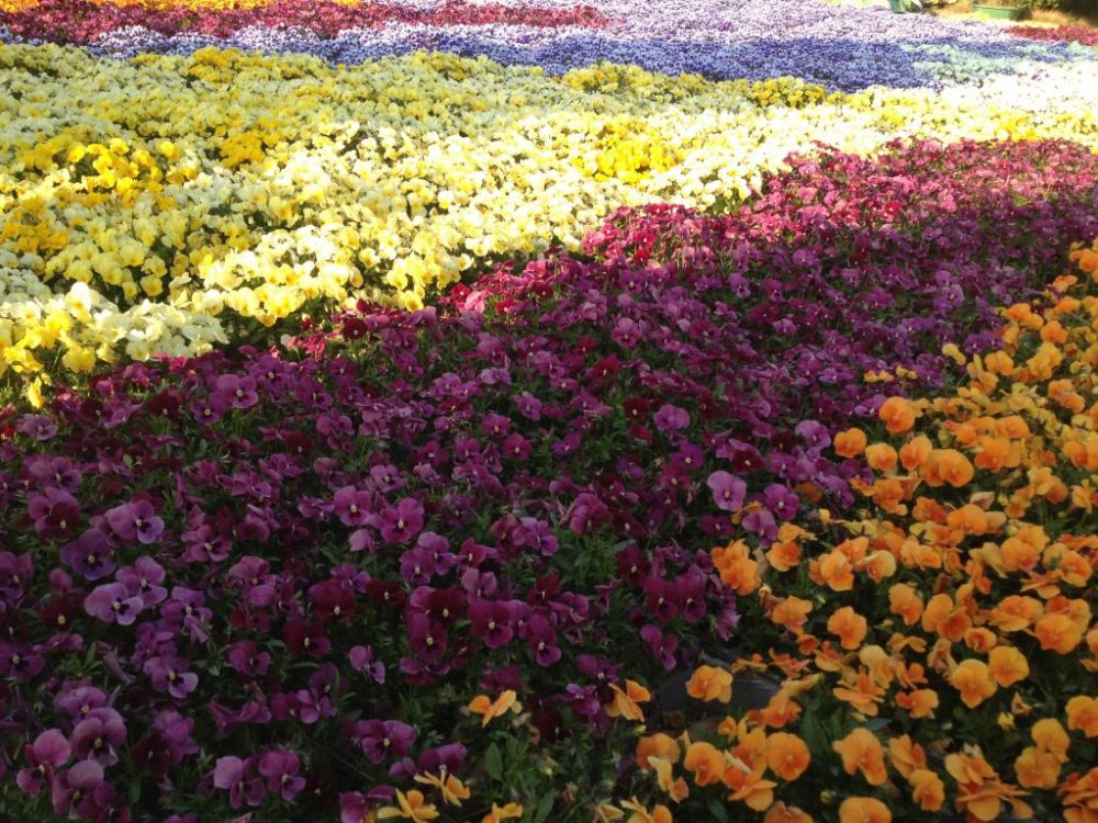 Pansy fields forever