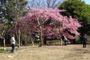 ซากุระพันธ์บานเร็วในสวนคิทะโนะมะรุ