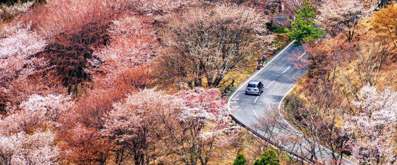 Сакура вдоль горной дороги