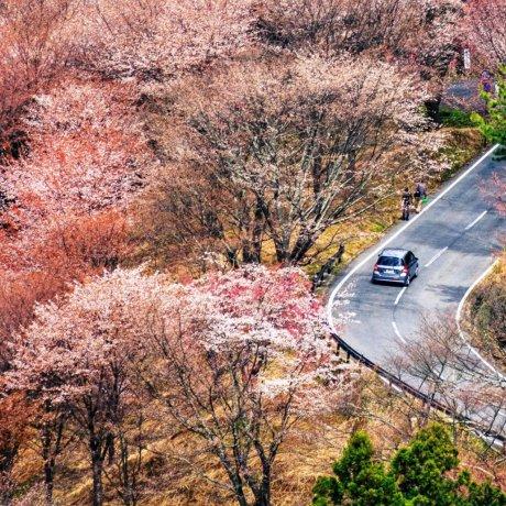Sakura on Mount Yoshino