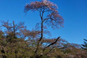 사야마 공원의 벚꽃