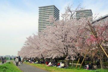 พื้นที่สีเขียว ทะมะกะวะ กะสุบะชิ (Tamagawa Gasubashi) มีต้นซากุระเกือบ 120 ต้น