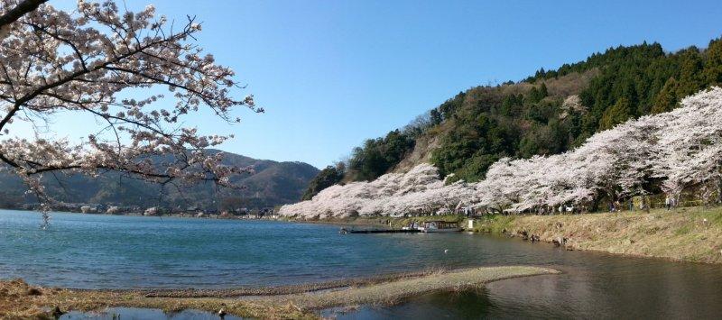 Цветущая сакура вдоль берега