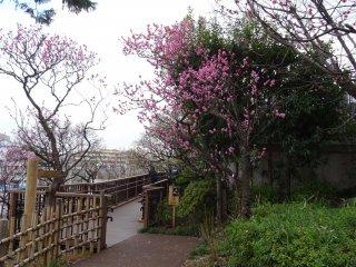 ภายในสวนปลูกต้นพลัมลดหลั่นไปตามเนินเขาเตี้ยๆ มีทางเดินและบันไดไม้ขึ้นลง ลดเลี้ยว ตามเนินเขา