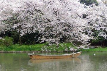 โซะเม โยะชิโนะ (Somei Yoshino) ซากุระ ณ.สวนซานเคเอ็น โยโกฮะมะ