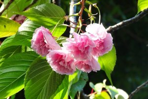 คิคุซากุระ (Kikuzakura) มีกลีบดอกถึงร้อยกลีบ