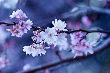 ซากุระแห่งเดือนตุลาคม หรือ จุกัตซึตซากุระ (Jugatsuzakura) เธอบานในฤดูใบไม้ร่วง!