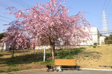 A French Bulldog & Cherry Blossoms