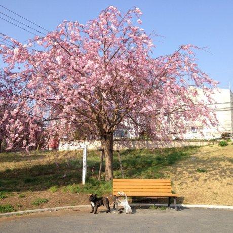 프렌치 불독과 벚꽃들