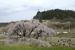 The massiveness of the tree is inversely proportional to the size of its flowers. Its five-petal blossoms, in clusters, are almost half the size of the common sakura
