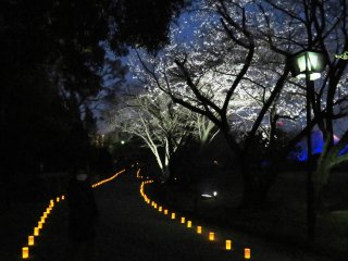 Take the illuminated path past the cherry blossoms in full bloom