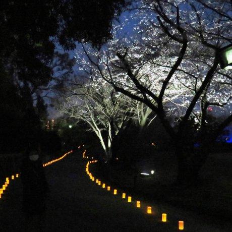 Lễ hội ánh sáng hoa anh đào Suizenji