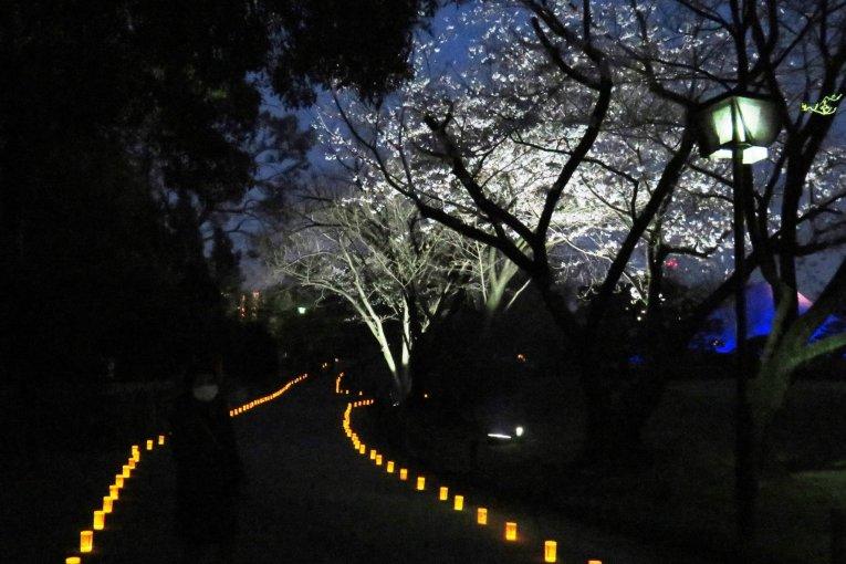 Suizenji Sakura Illuminations