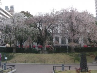Weeping cherry blossoms in Yamashita Park