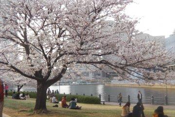 요코하마 워터 프론트의 벚꽃