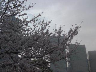 White flowers in front of the Minato Mirai skyline