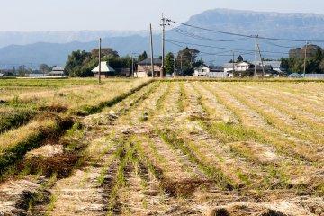 Вокруг - рисовые поля, в большинстве своём пустые к началу ноября
