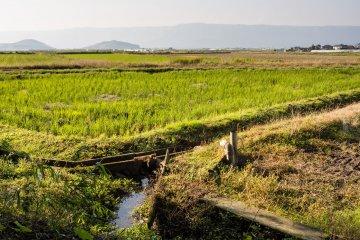 Хотя некоторые рисовые поля ещё зелёные