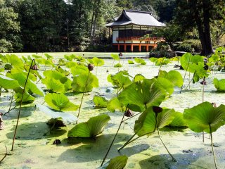 Lotus pond (the blooming season is in August)